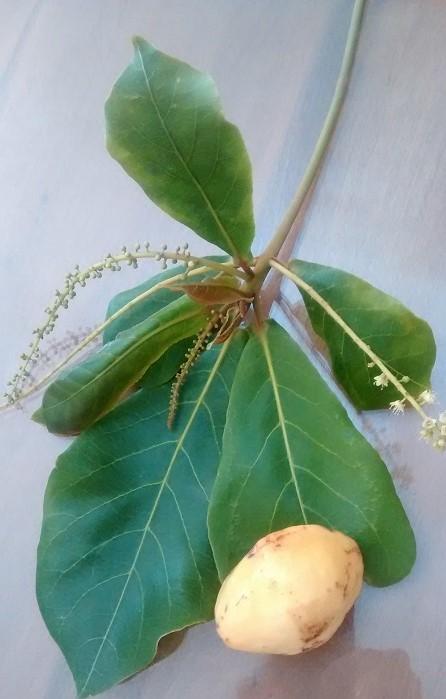 almond&leaf800v
